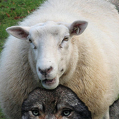 WolfSheep_Flickr_manitou2121