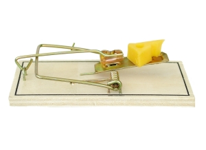 Photo of a rat trap loaded for action with a piece of cheese on the trigger.