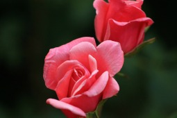 photo of two light pink roses
