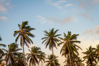 palm trees framed in front of a blue sky with light fluffy clouds