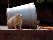 Picture of a groundhog/marmot, standing by a metal bucket.