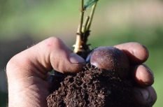 Picture of person's fingers holding some dirt and a chesnut seed.